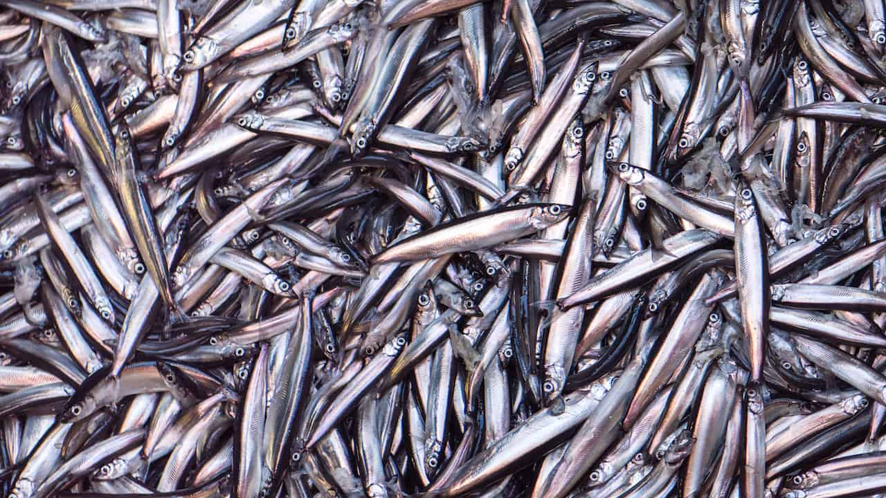 Federation offers capelin survey support