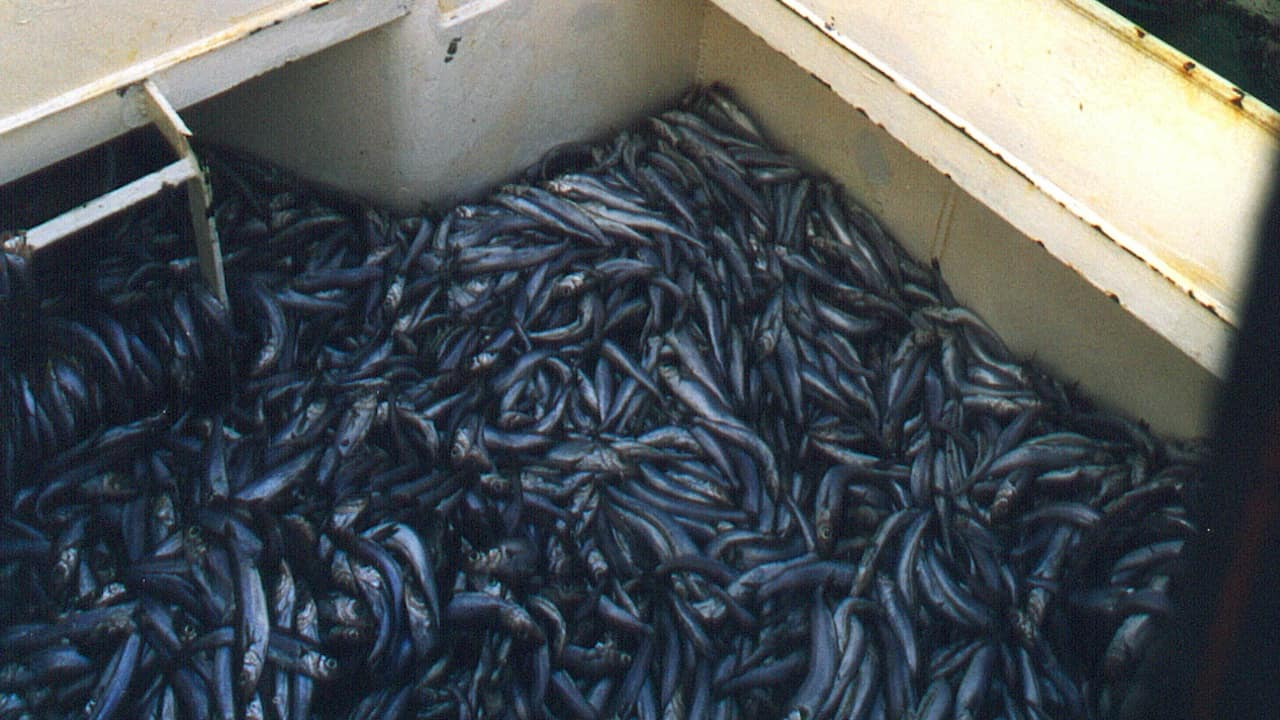 Read more about the article Countdown to sustainability for blue whiting