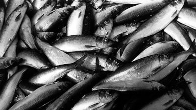 New agreements for Atlanto-Scandian herring and blue whiting