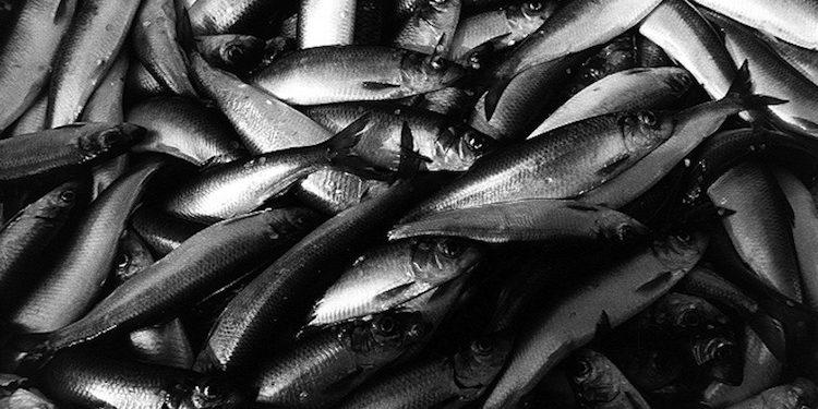 Finland's herring and sprat fisheries are entering MSC assessment - @ Fiskerforum