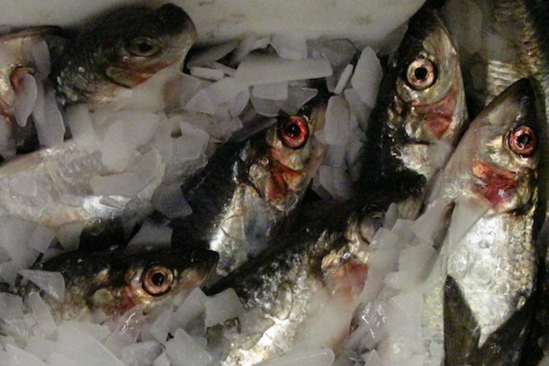 New deals on herring and blue whiting