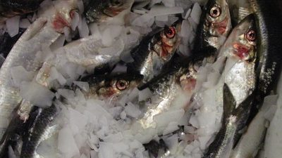 Capelin and herring advice announced