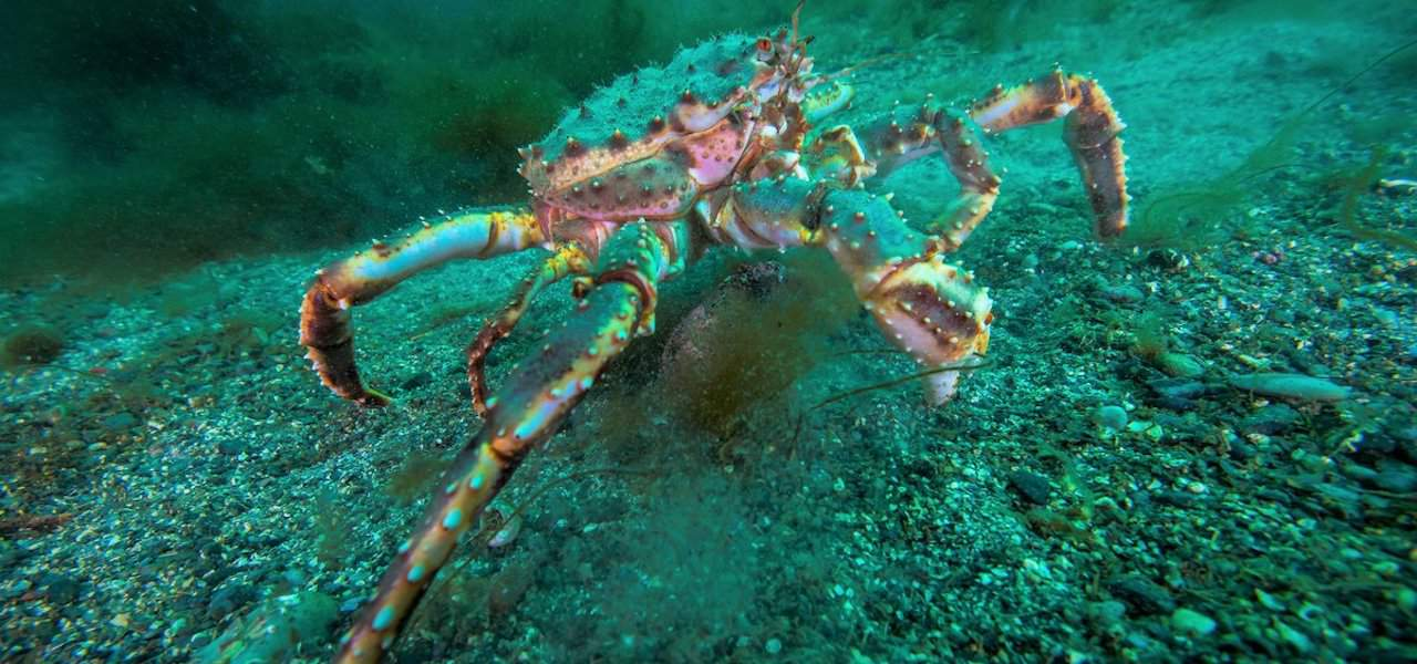 King crab quota increase recommended