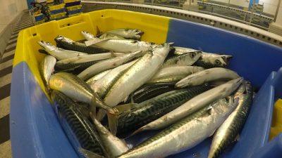 Mackerel quota slash advice