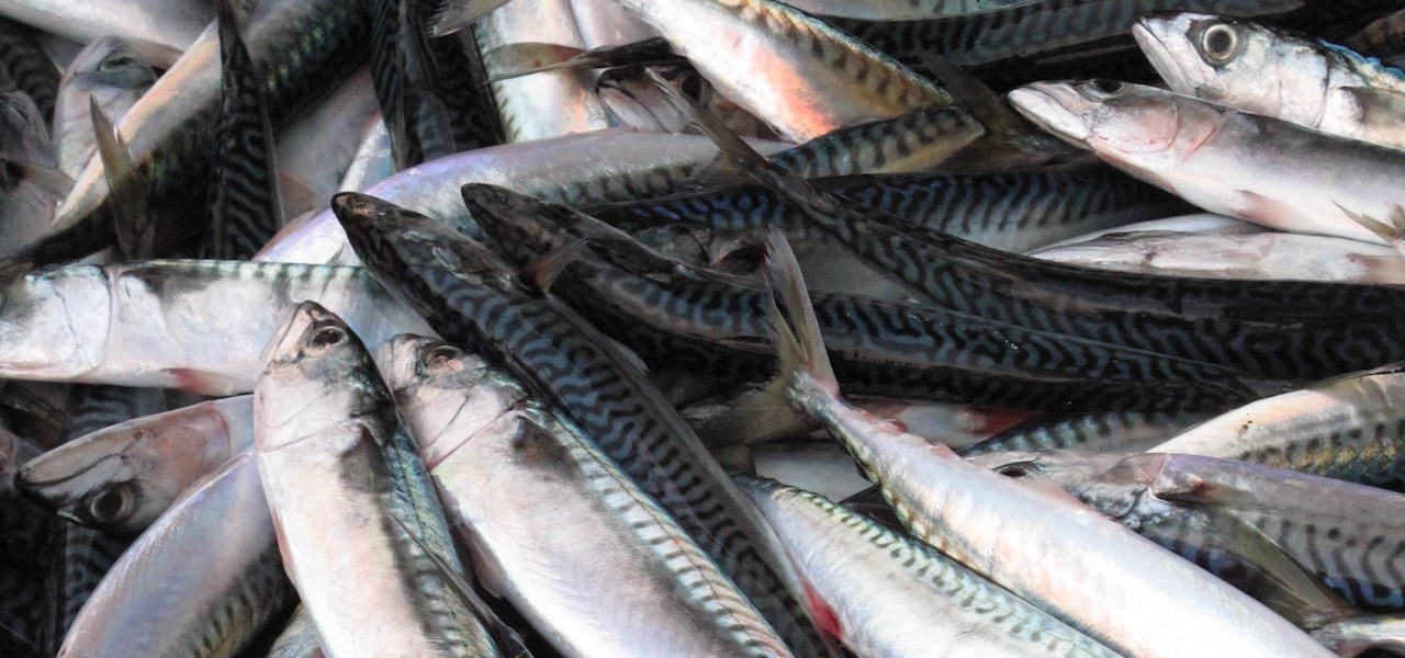 Síldarvinnslan's mackerel season gets underway