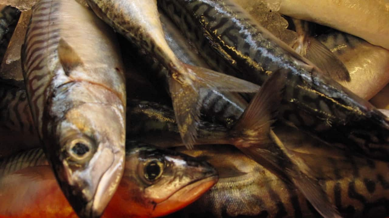 KFO demands compensation on mackerel