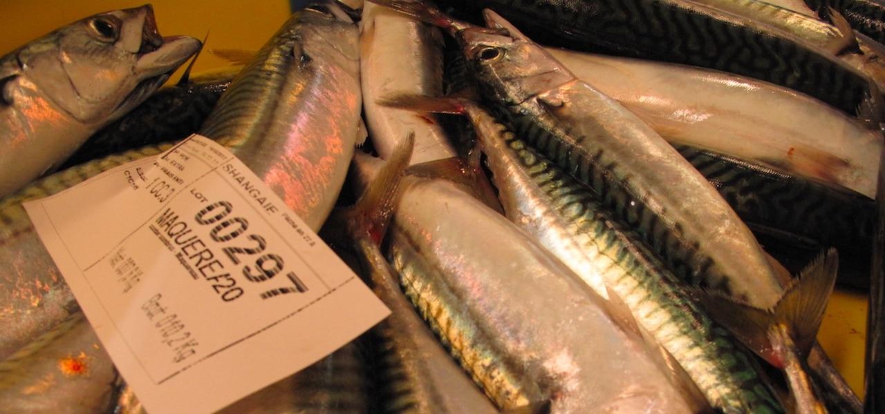 MSC says no to reinstating mackerel certificates – despite healthy stock