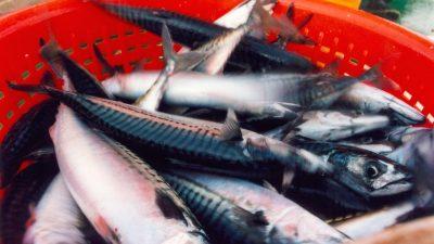 Iceland sets mackerel quota