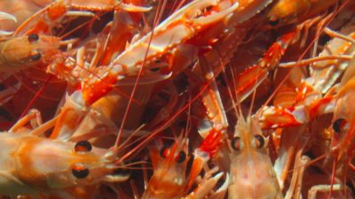 Iceland's nephrops fishery limited to research quota