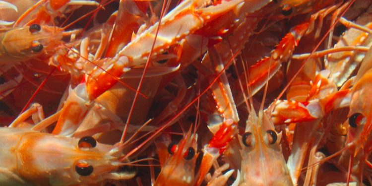 A nephrops quota of only 235 tonnes has been recommended for Icelandic waters this year - @ Fiskerforum