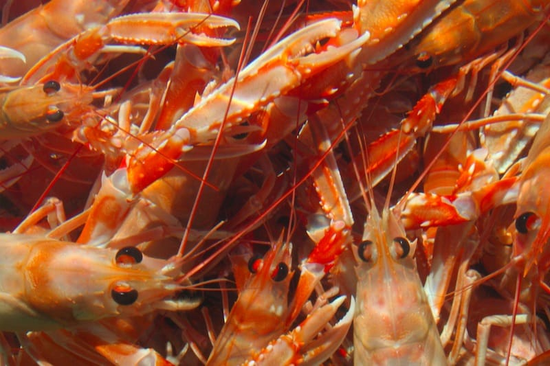 Read more about the article Iceland's nephrops fishery limited to research quota