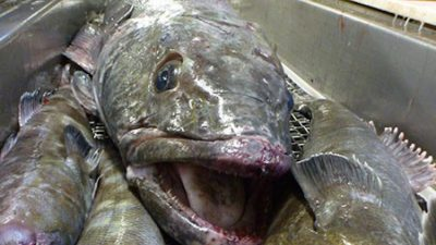 Toothfish limits announced for Heard and McDonald Islands