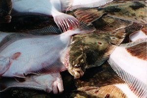 2019 Baltic quotas for plaice and western cod are expected to be lifted - @ Fiskerforum