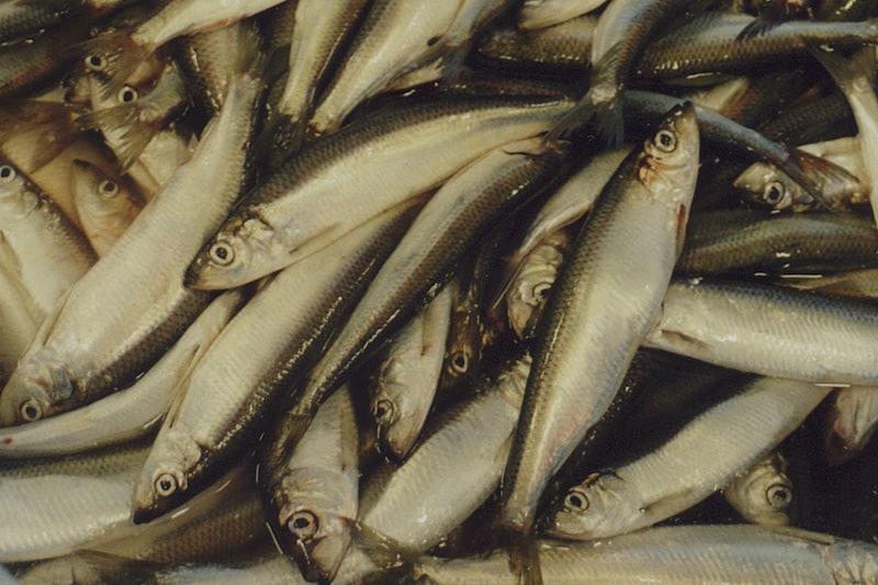 No western herring quota for Baltic fishermen