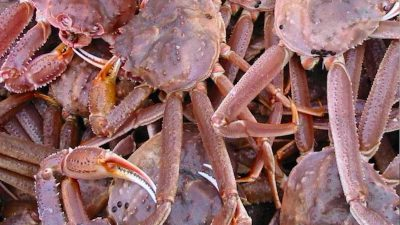 MSC suspends certificate for Southern Gulf of St. Lawrence snow crab fishery