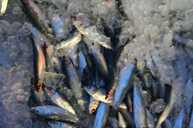 New thinking on forage fish