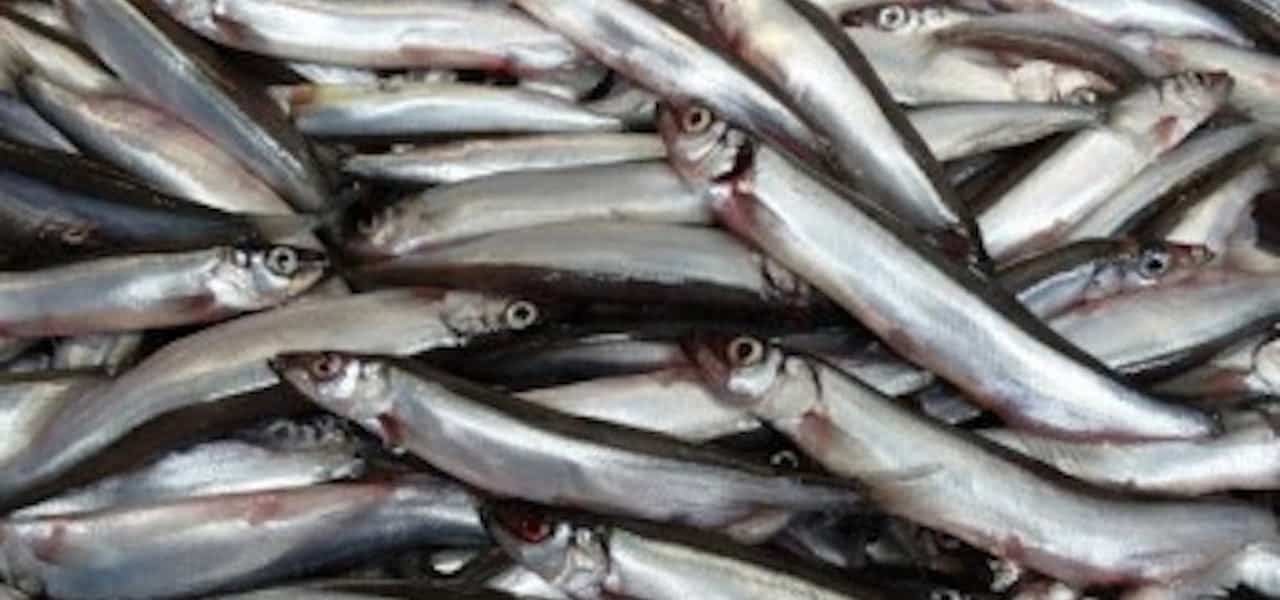 Iceland's capelin survey gets underway