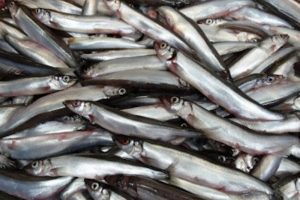 Iceland's capelin fishery will not be taking place this year. Image: SVN - @ Fiskerforum