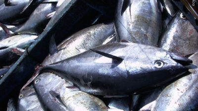 Bluefin gaining strength