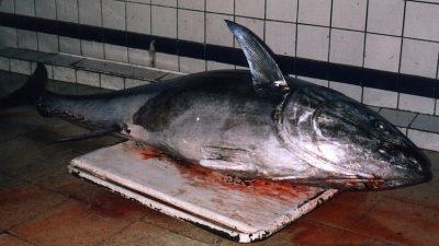 Getting ready for tuna?