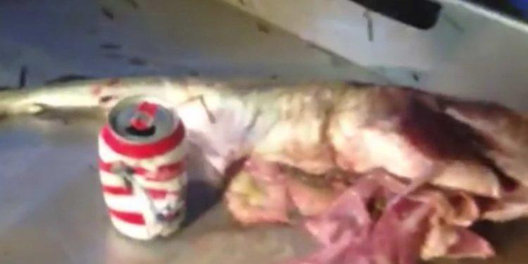 Fisker fangede torsk med dåse og plastikbæger i maven